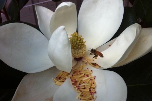 The beautiful Magnolia Little Gem in full flower.