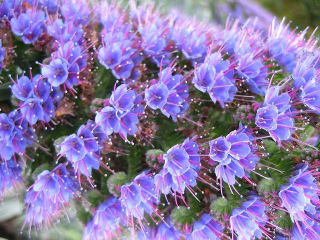 Echium Purple