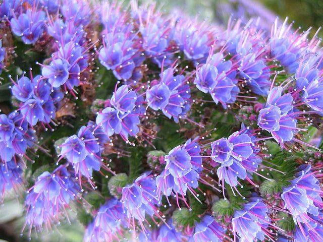 Echium Purple