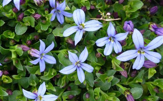 Pratia pedunculata